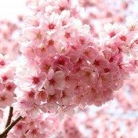 新宿御苑の桜です~