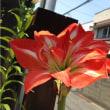 アマリリス開花♪