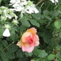今朝のボーダー花壇 2017.5.26
