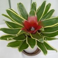 ネオゲレリア・リリオブリア:観葉植物