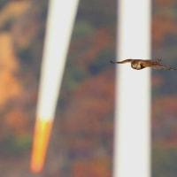 2016.12.08(木)の日誌(秋の鷹渡り#16-25-01:オオタカ&ハイタカの飛翔)