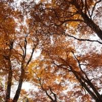 天生の紅葉