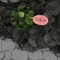 ヒメリュウキンカの花が咲きました^_^