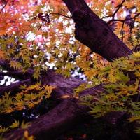 紅葉 (花 4114)