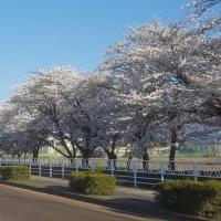 長井まちなか桜回廊 満開 その2