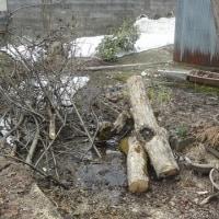 梨の木、柿の木の伐採