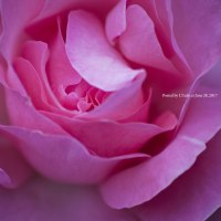 時はバラ色に染まる