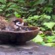 小雀の水浴び