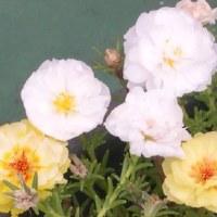 テラスの花  23