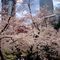 お昼休みに桜散歩(^^)