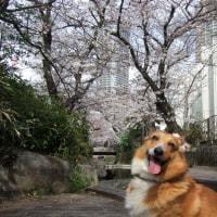 桜 満開ではないけれど
