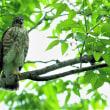 今日の野鳥    サシバの親子