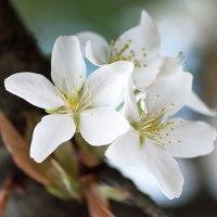 桜咲く(Ⅶ)