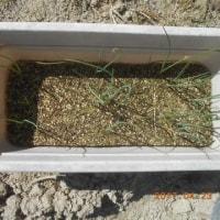 育てていたネギの苗を畑に植えました