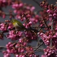 寒緋桜とメジロ