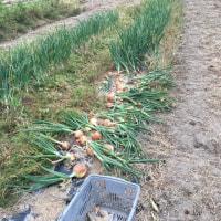 玉ねぎの収穫です。