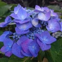 今年も〈紫陽花〉の季節に