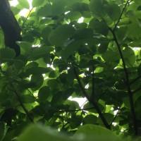 梅の実がゴロゴロ