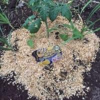 とうとう庭でスイカ栽培、、、うまくいくのか?