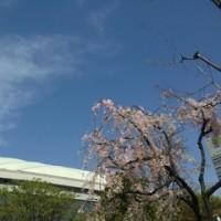 日曜日の東京ドームの桜 (ソメイヨシノではなかったけど)