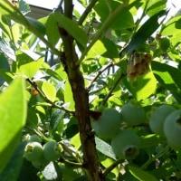ハチがブルーベリーの枝にまた巣を作りました