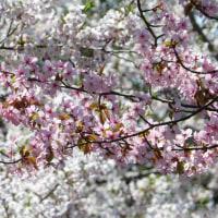 森林研究所の桜並木 (5月9日)