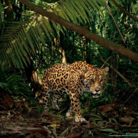 密林で獲物をさがすジャガー(NATIONAL GEOGRAPHIC)