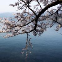 2017年 海津大崎の桜