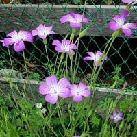 麦仙翁 (むぎせんのう)という花