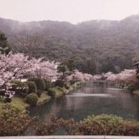 吉香神社周辺の桜