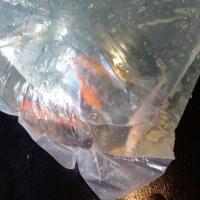 錦鯉と金魚