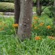 ヤブカンゾウの咲く林