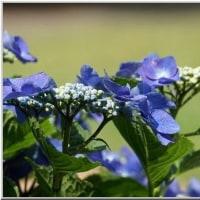 ネーブルパーク の キスゲ と 紫陽花