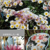 真っ白な菊がピンクに!