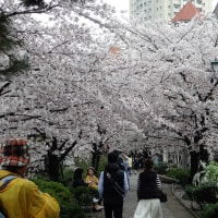 528.桜満開花のみち散歩2017