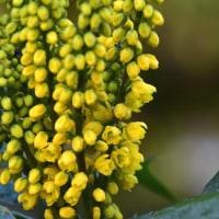 マホニア・ユーリブラクテアタの花