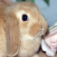 ホーランドロップ/ウサギ/大感謝セール開催中!/ペットショップ/仙台市/栗原市/登米市