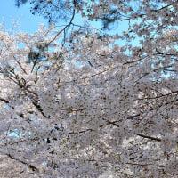 今年は大宮公園の桜