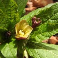 高ボッチ高原・鉢伏山で最近咲いている花 ハシリドコロ(走野老)