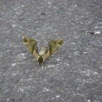 今日のバウ 蛾?
