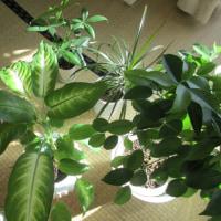 日光浴だよ うちの観葉植物達