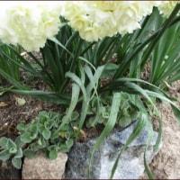 雨あがりの春の庭<今朝の庭3/28>