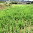 稲育ってますよ。草も負けじとね。草刈りしました。