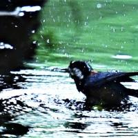 今日の野鳥   フクロウの雛・ヤマガラ・ヒヨドリ