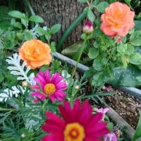 小輪のバラとマーガレット(?)