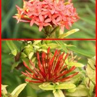我が家と沖縄の三大名花