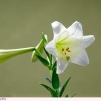 テッポウユリ 〈 白い花 4 〉