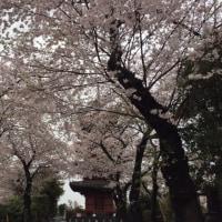 大雨の中、桜満開!