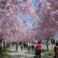 喜多方の廃線利用の桜並木