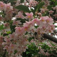 エゴノキの花.